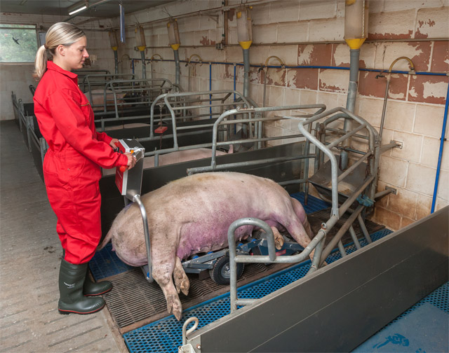 The new carcass trolley Porky's Pick Up XL is suitable for small farrowing boxes. This photo shows the sow completely loaded at the carcass trolley.