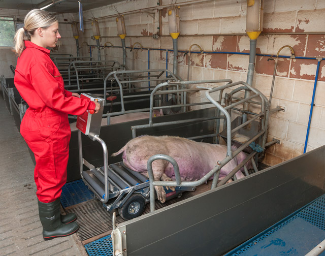 In start mode at farrowing pen, Porky's Pick UP XL is retracted. The operator drives in front of the carcass and pick the first part up from the ground. So even tight and small corridors and pens are passable.